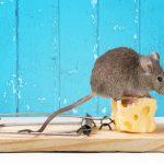 Ongedierte bestrijden voor studenten | Top 3 plaagdieren